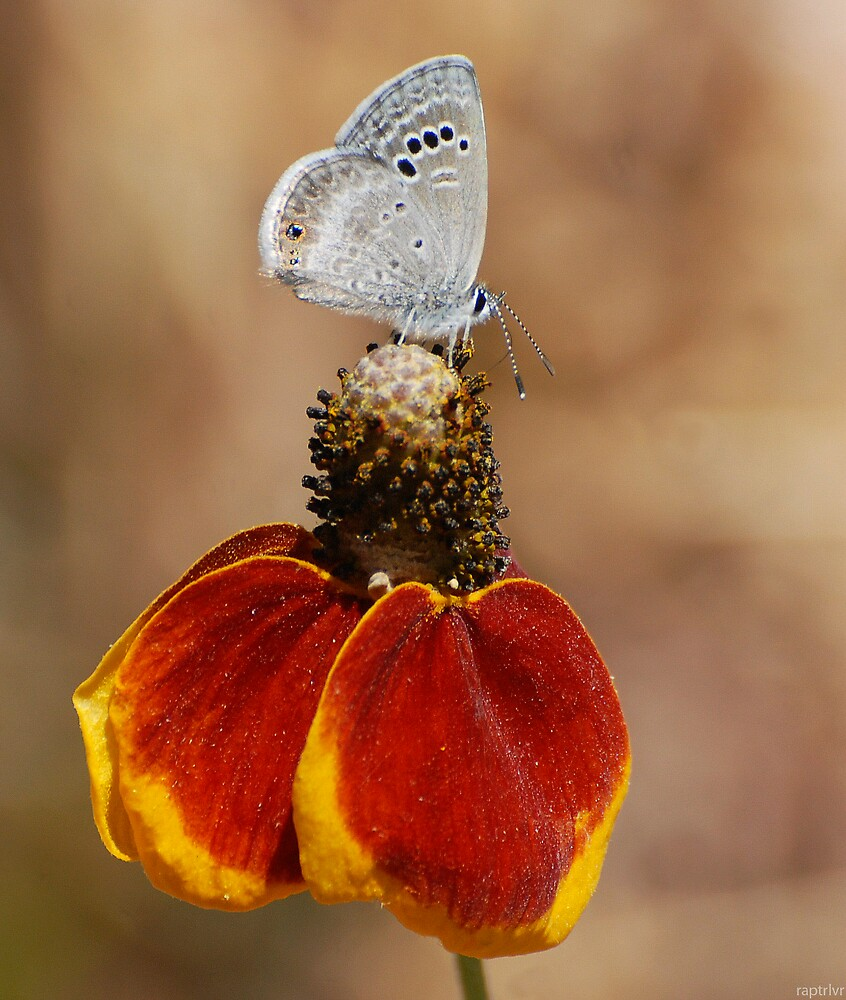 Mexican Hat & Butterfly by raptrlvr