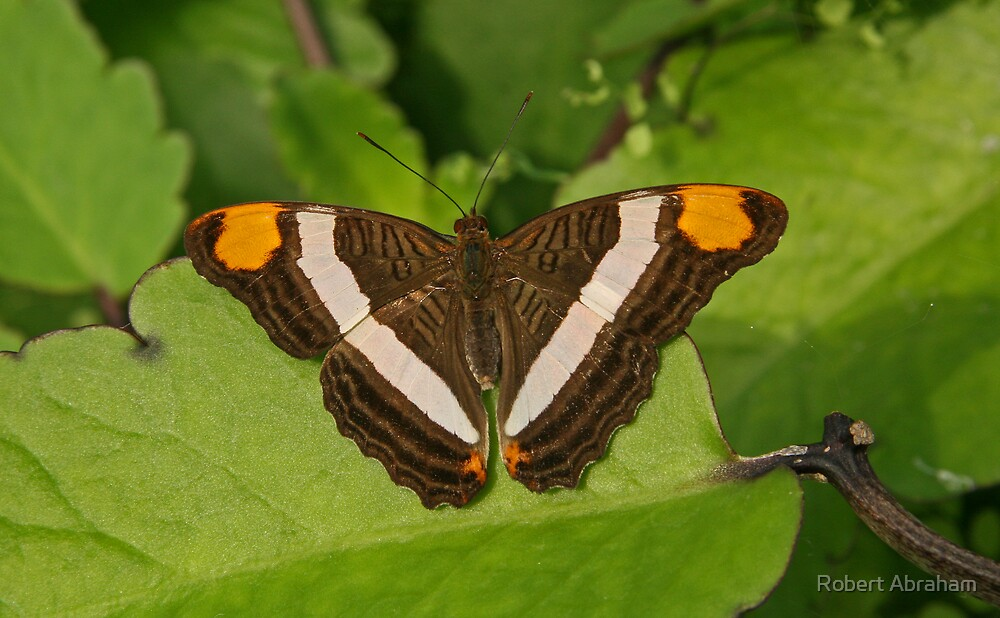 Mexican Sister Butterfly by Robert Abraham