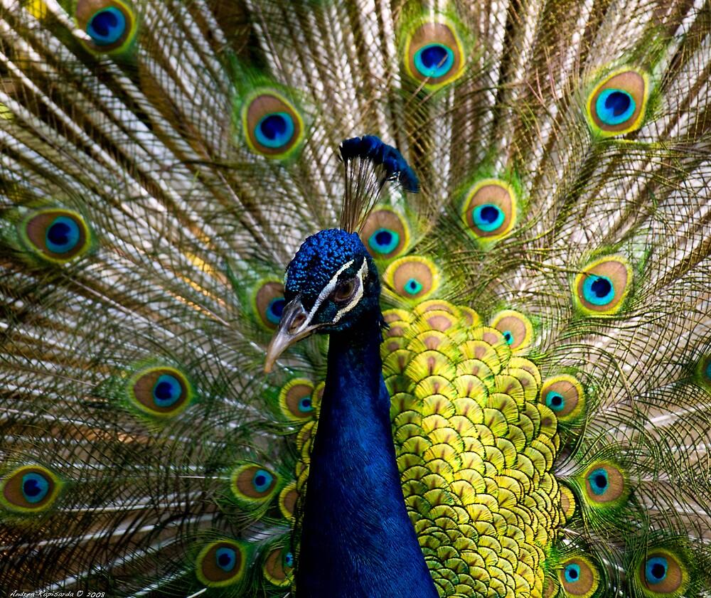 a beautiful peacock by Andrea Rapisarda