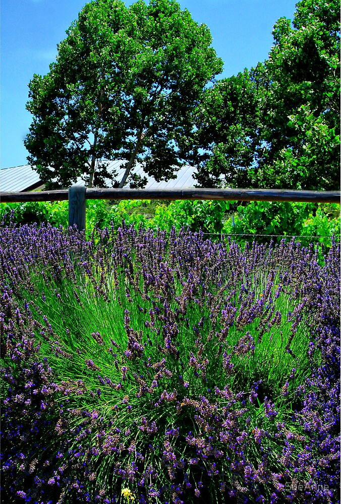 Lavender Spary by SueAnne