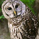 Barred Owl by Rebecca Cruz