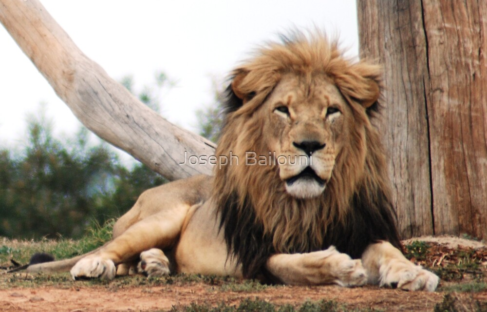 The King of the Jungle by Joseph Bailouni