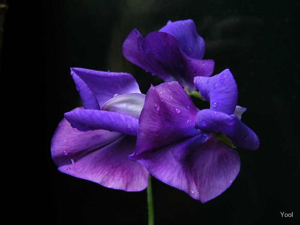 Sweet purple ... by Yool