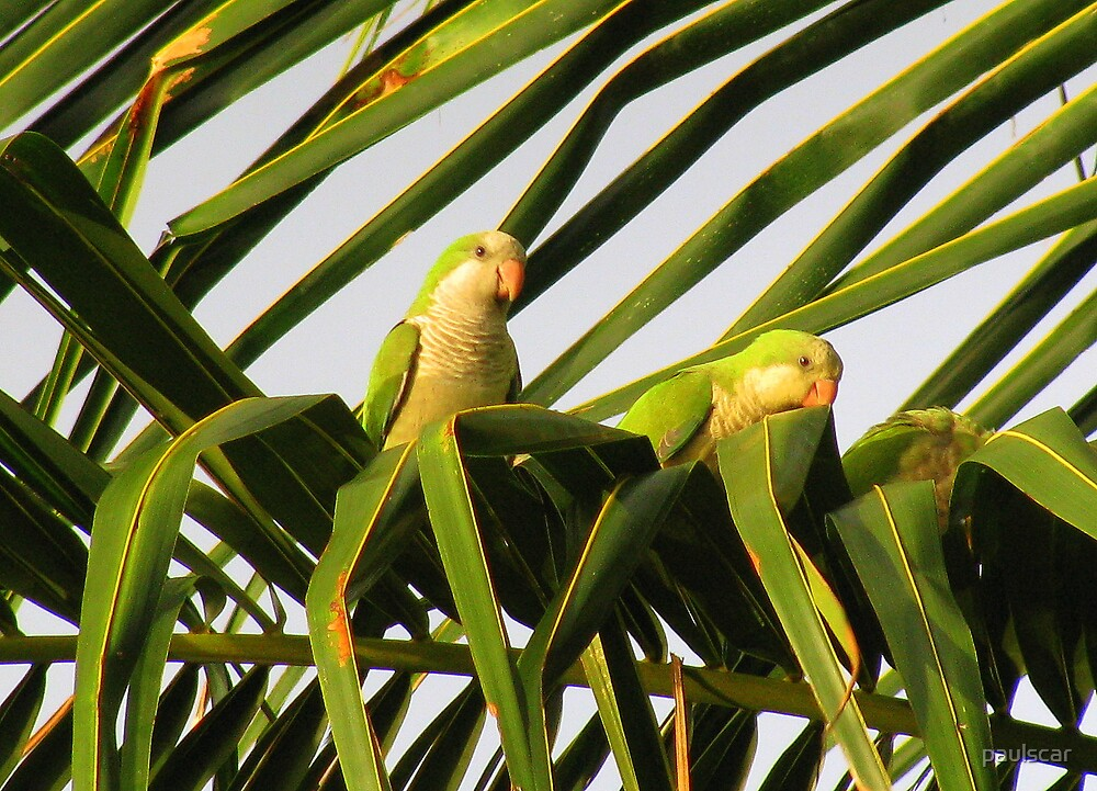 wild parakeets by paulscar