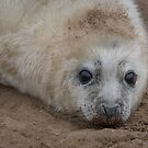 grey seal pup by alan tunnicliffe