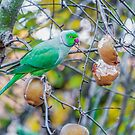 Stunning,Beautiful Wild Parakeet and pears.. by buddybetsy