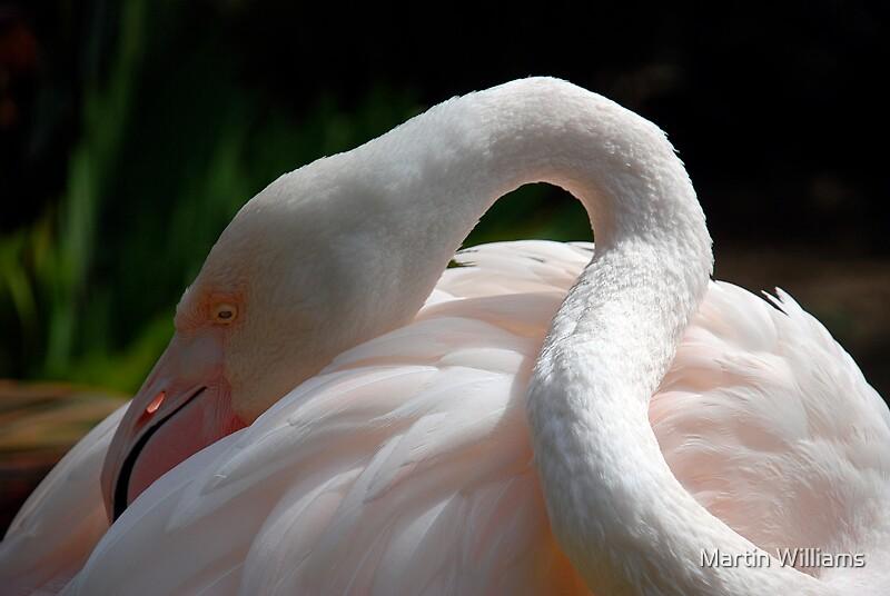 Flamingo 4, Adelaide Zoo by Martin Williams