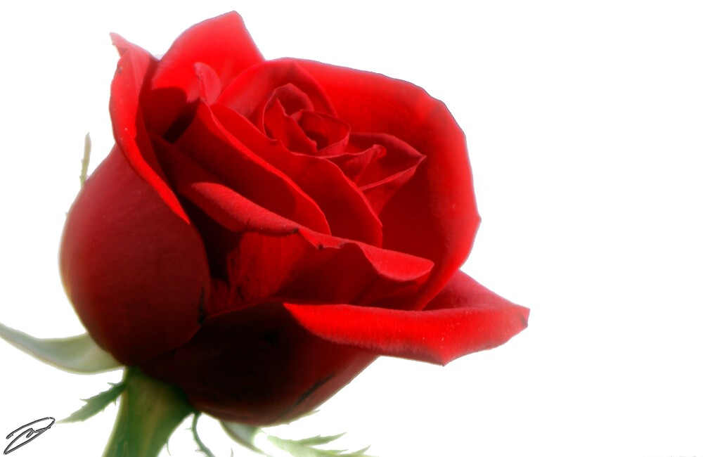 Rose on White by David W Kirk