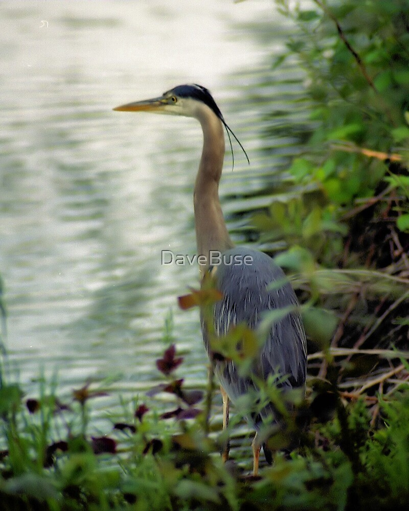 Great Blue by DaveBuse