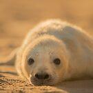 Grey Seal Pup by George Wheelhouse