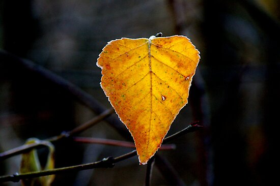 Frosty Leaf... by Larry Llewellyn