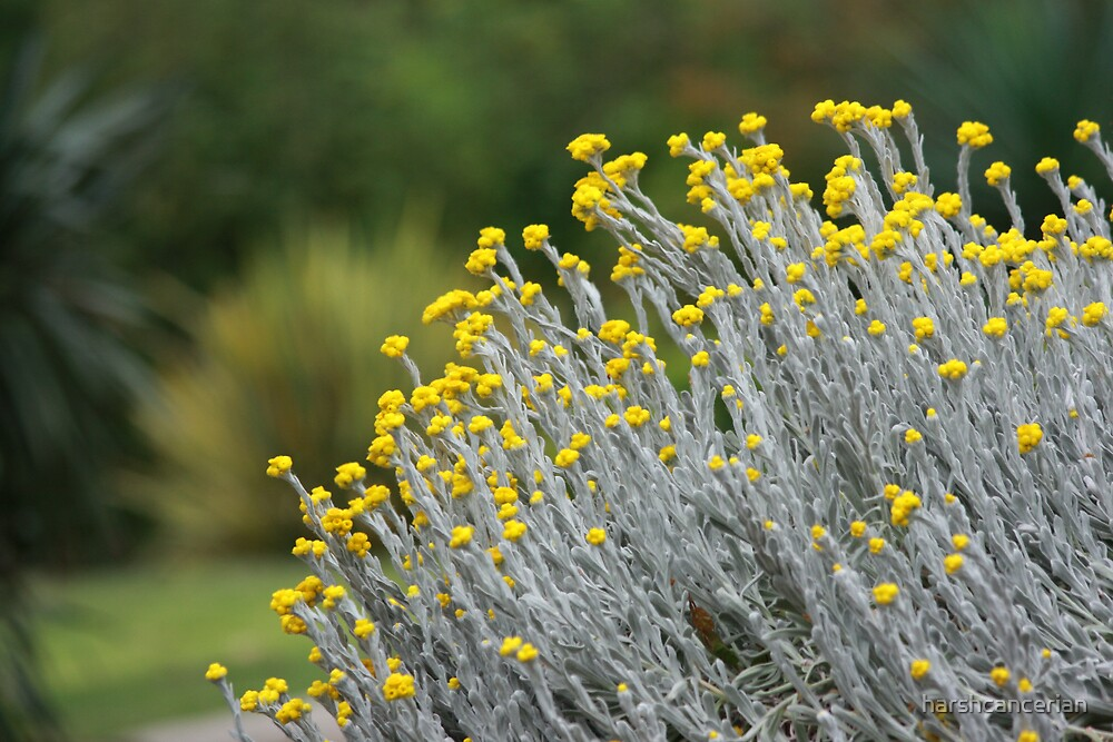 Yellow Beauty by harshcancerian