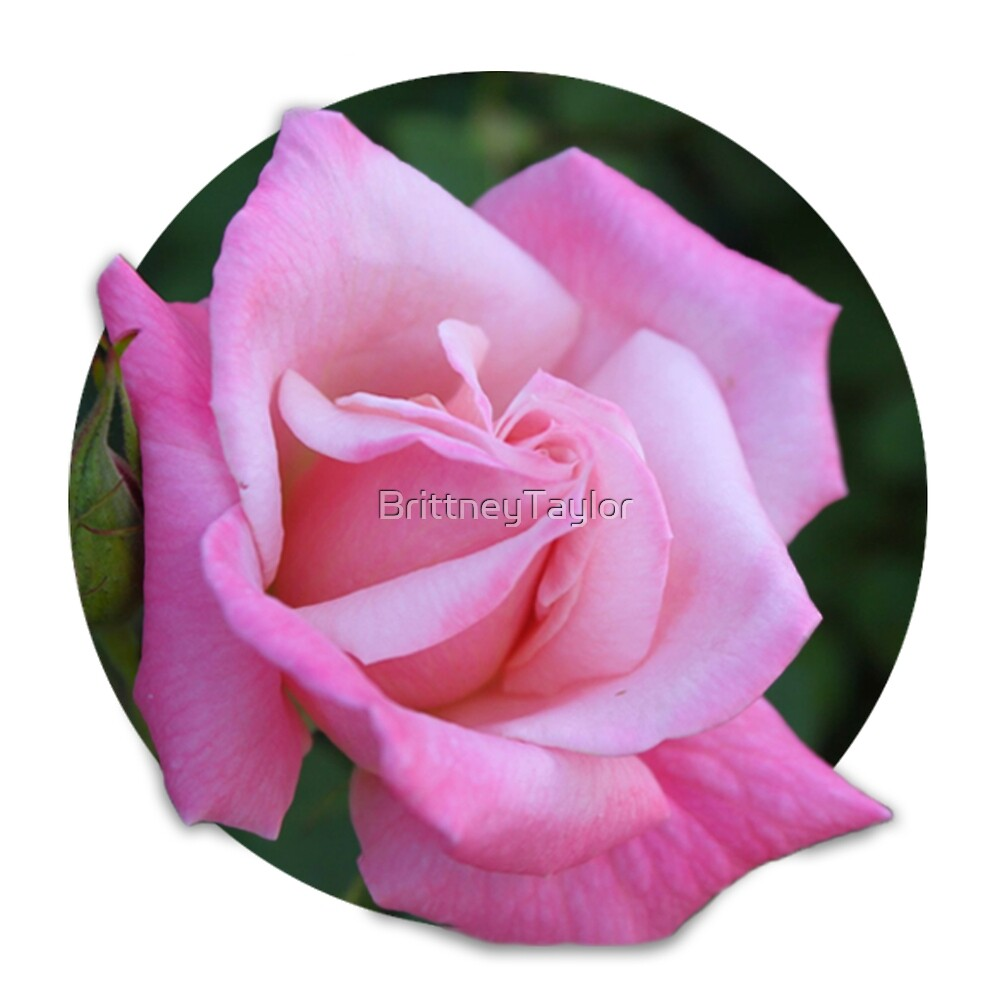 Pink Rose by Brittney Lawrence