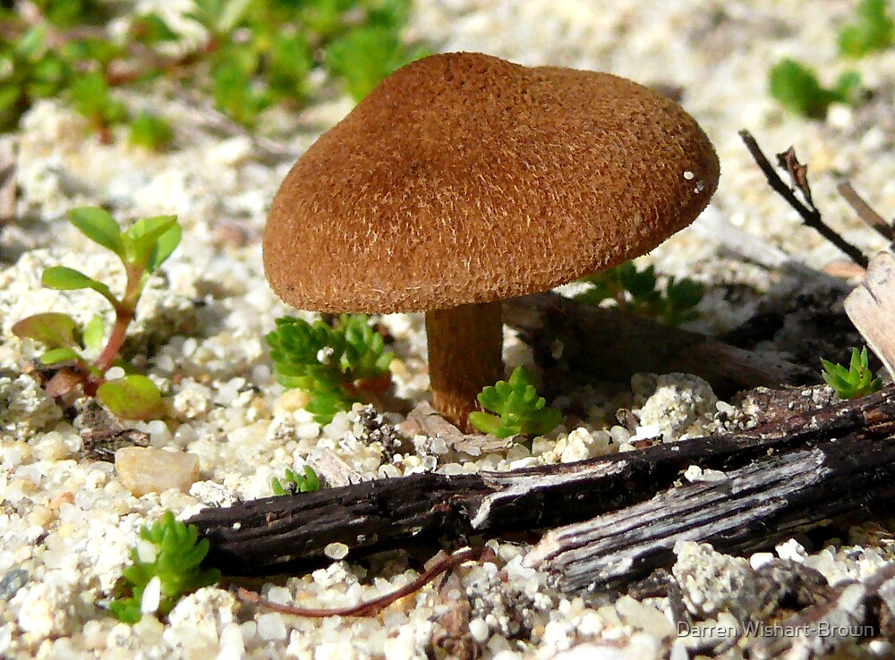 Fungi on sandplain by Darren Wishart-Brown
