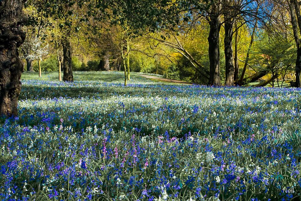 Beautiful Bluebells by Neil