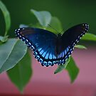 Red-spotted Purple by Gretchen Dunham