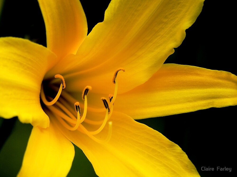 Yellow Lilium by Claire  Farley