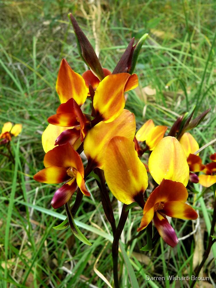 Donkey Orchids by Darren Wishart-Brown