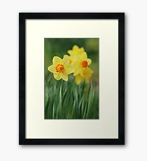 Shropshire Daffodils  Framed Print