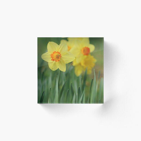 Shropshire Daffodils  Acrylic Block