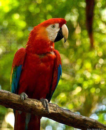 red parrot by Andrea Rapisarda