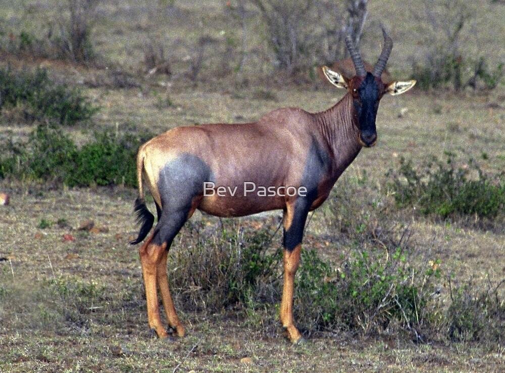 Topi Antelope  (Damaliscus korrigum) - Kenya by Bev Pascoe