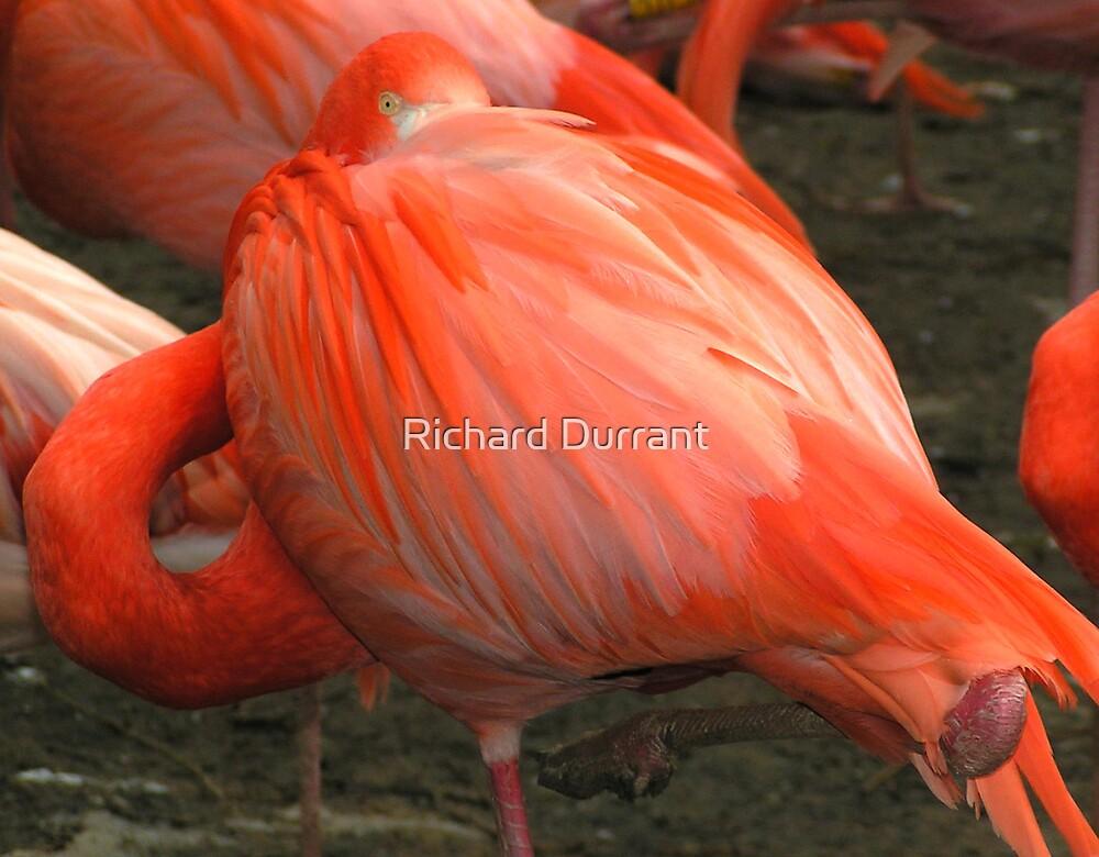 Flamingo Taking A Break 1 by Richard Durrant