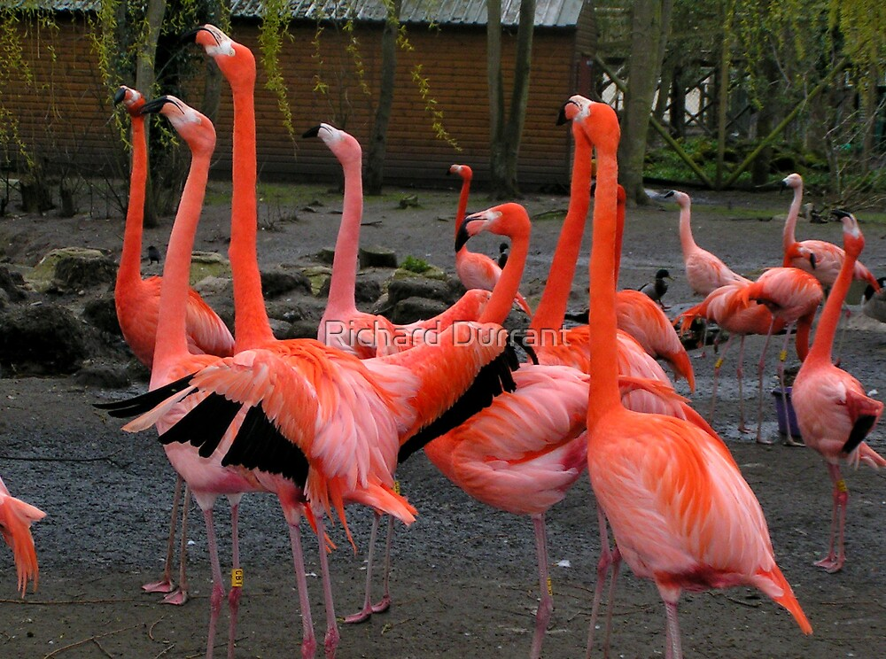 Stand of Flamingos by Richard Durrant