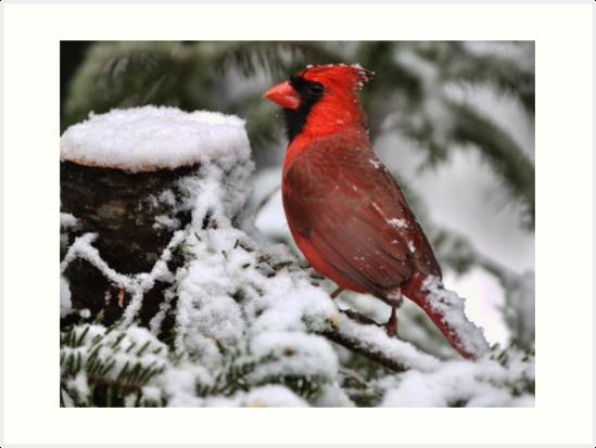 Red Cardinal by Gabriele Swanson