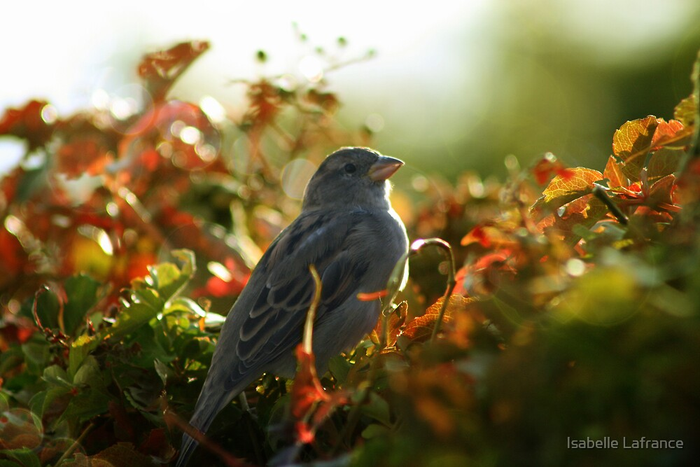 Female Sparrow by Isabelle Lafrance