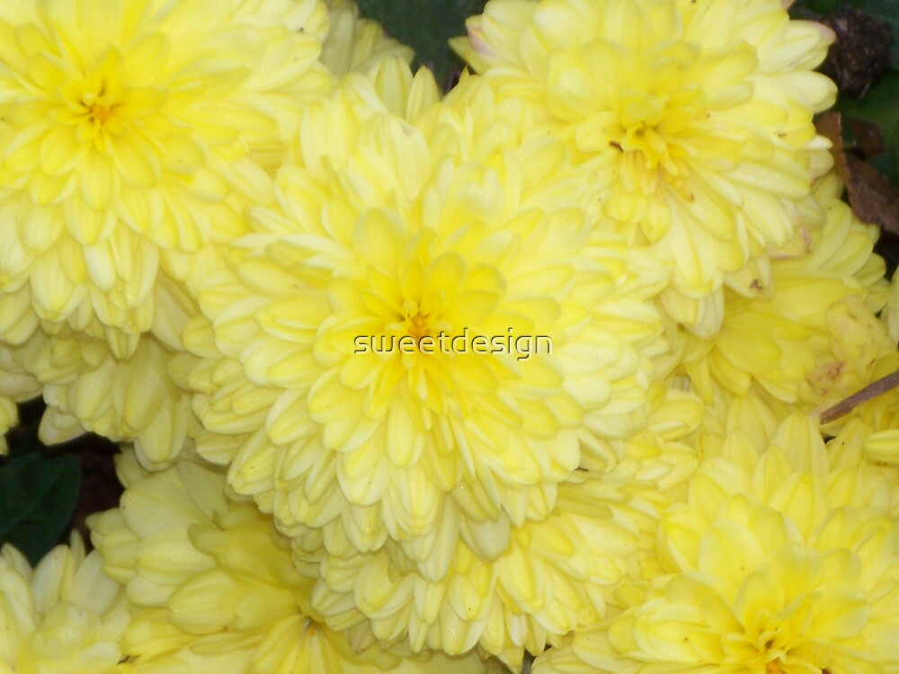 yellow mums 2 by sweetdesign