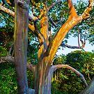Maui Rainbow Eucalyptus tree by photosbyflood