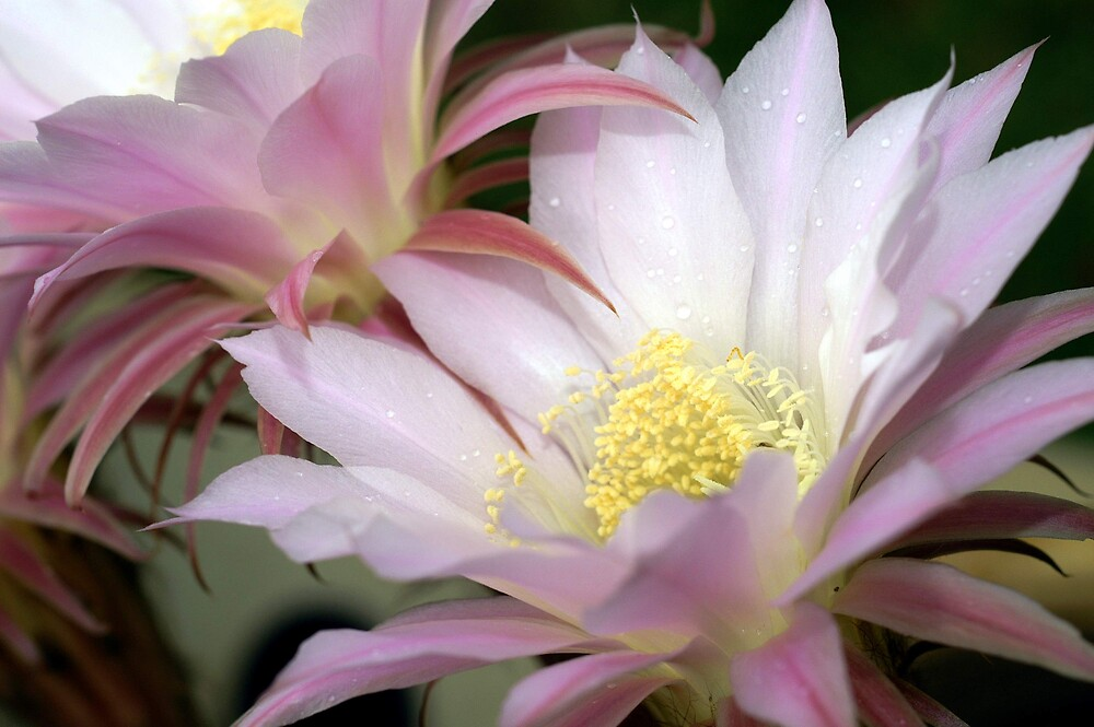 Cactus Flower by Patricia Elliott
