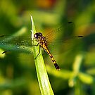 Golden Dragonfly by Virginia N. Fred