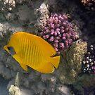 Bluecheeked Butterflyfish by hurmerinta