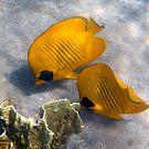 Bluecheeked Butterflyfish Couple by hurmerinta