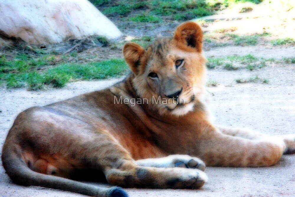Lazy Lion Laying by Megan Martin