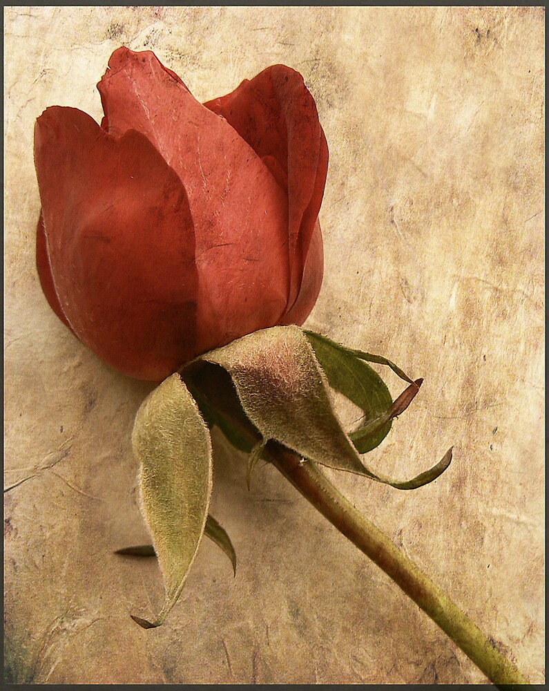 Last Rose. by mariarty