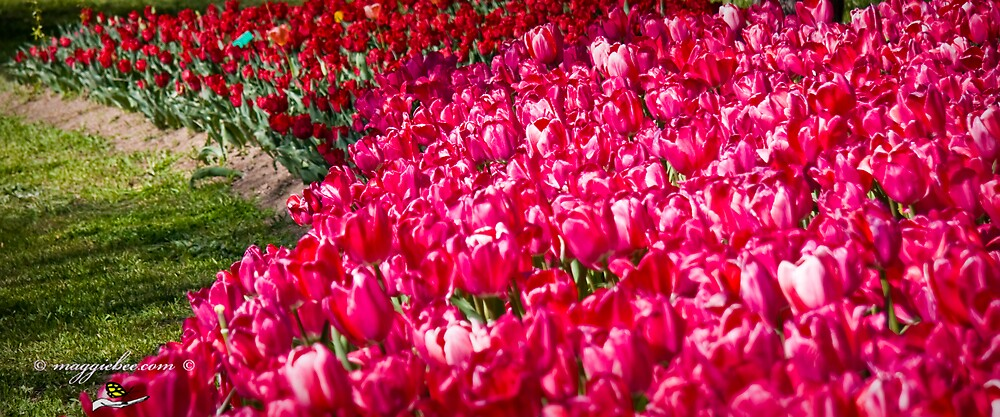 Bank Of Tulips by Maggiebee