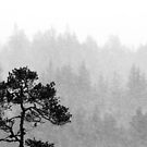 23.11.2017: Lonely Pine Tree in Snowfall II by Petri Volanen