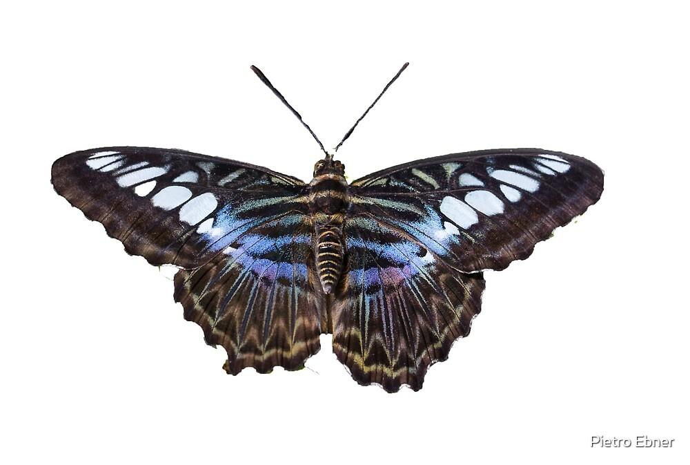 Clipper butterfly by pietrofoto