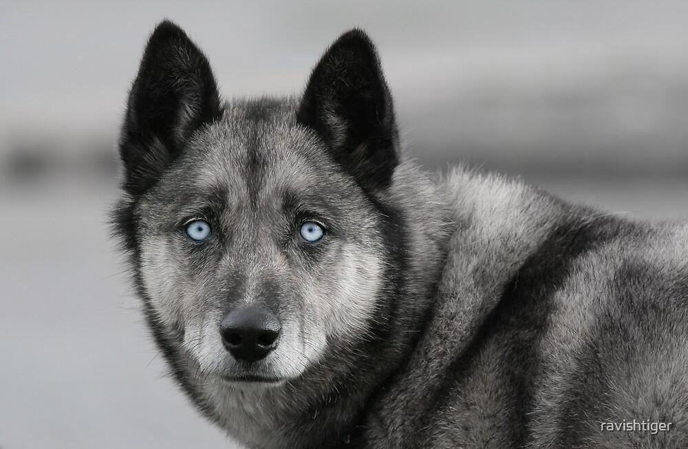 Eyes of blue by ravishtiger