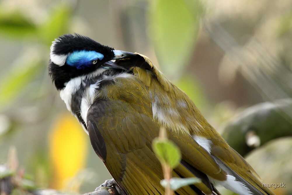Blue-Faced Honey Eater by margotk