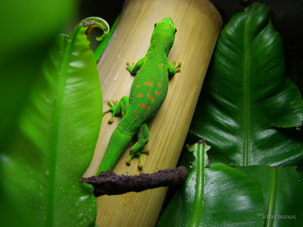 Madagascar Day Gecko II by iriserasmus