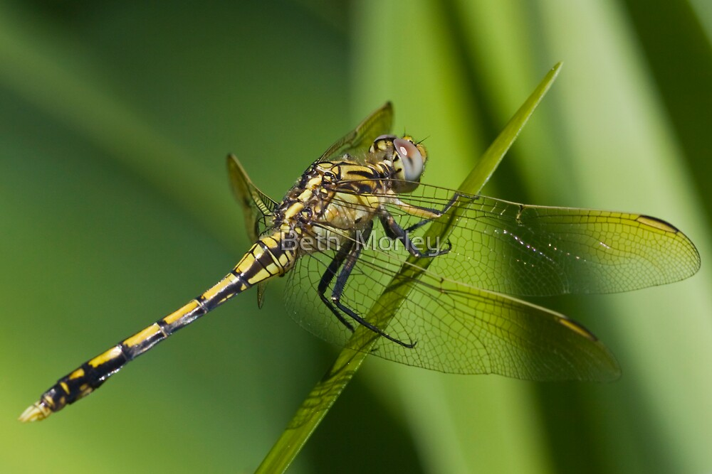Dragon Fly by Beth  Morley