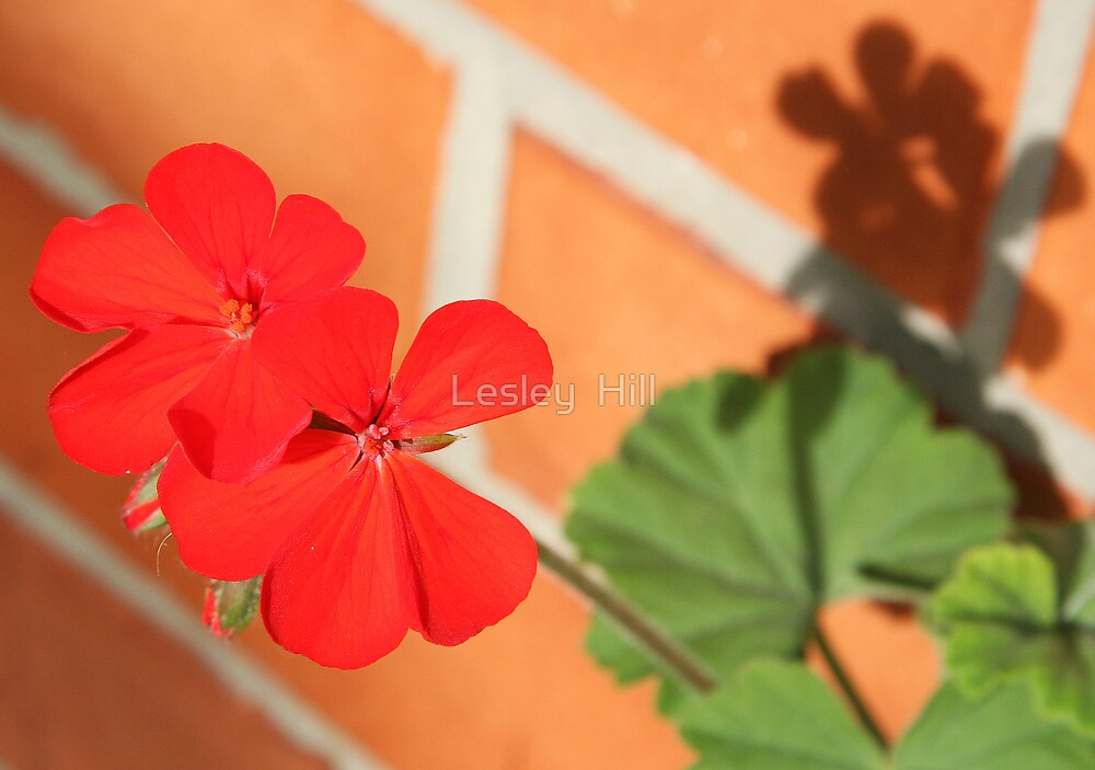Red Geranium  by Lesley  Hill