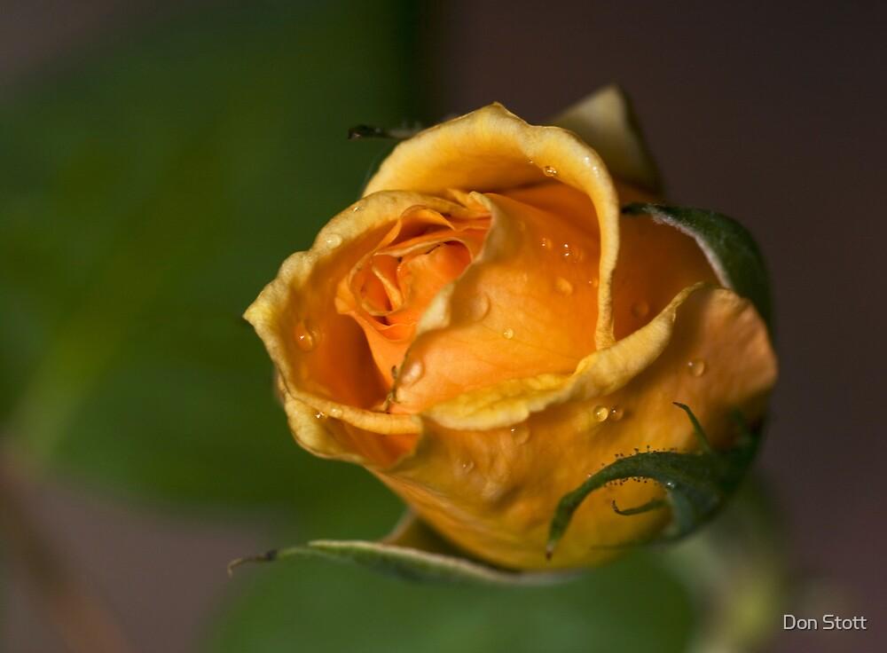 Orange Rose by Don Stott