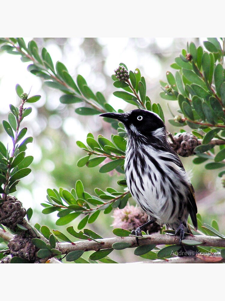 New Holland Honey Eater by mistered