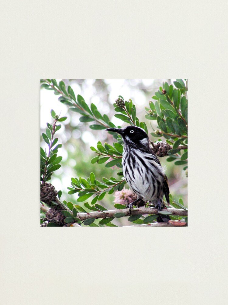 Alternate view of New Holland Honey Eater Photographic Print