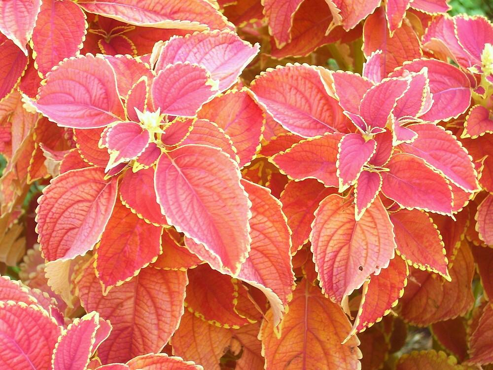fiery red coleus by joelz